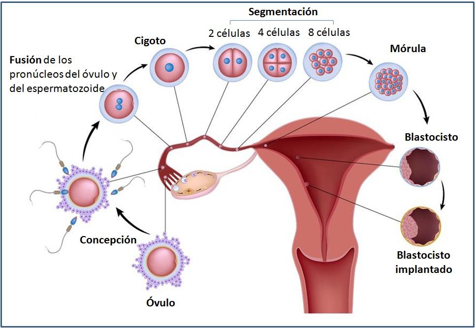 Semana 3 de embarazo recorrido del ovulo implantacion